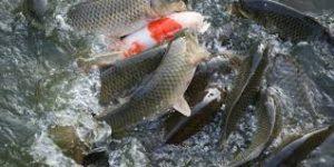 Mơ thấy cá chép điều lành hay điềm giữ