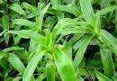 Những tác dụng của cây lược vàng đối với sức khỏe, đời sông