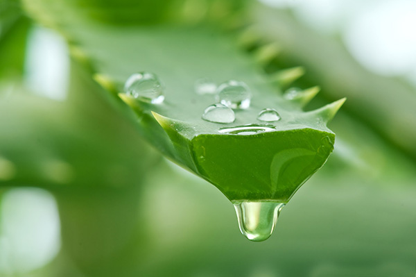 Nha đam - phương pháp trị mụn cám từ nguyên liệu thiên nhiên