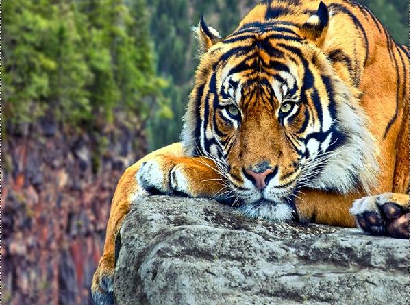Mơ thấy hổ điềm báo tai ương khó lường trước