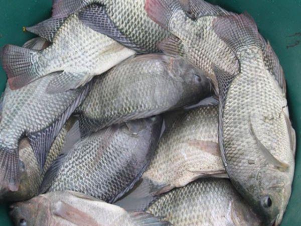 Nằm mơ thấy cá rô phi điềm báo gì và nên đánh con số đề nào chắc ăn