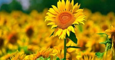 Mơ thấy hoa hướng dương là điềm báo lành hay dữ?