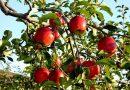 Mơ thấy quả táo là điềm báo lành hay dữ? Đánh con gì may mắn?