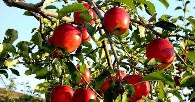 Mơ thấy quả táo là điềm báo lành hay dữ?