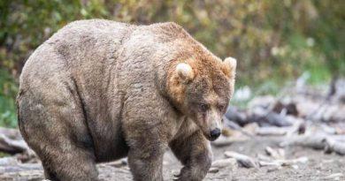 Mơ thấy gấu đánh đề bao nhiêu? Giấc mơ này có tốt không